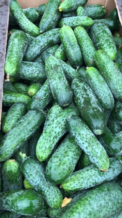 image VEGETABLES - FIELD CUCUMBER  LESZEK-PRZYGODZKI-FIRMA-HANDLOWA-EXPORT-IMPORT VEGETABLES - FIELD CUCUMBER SALE