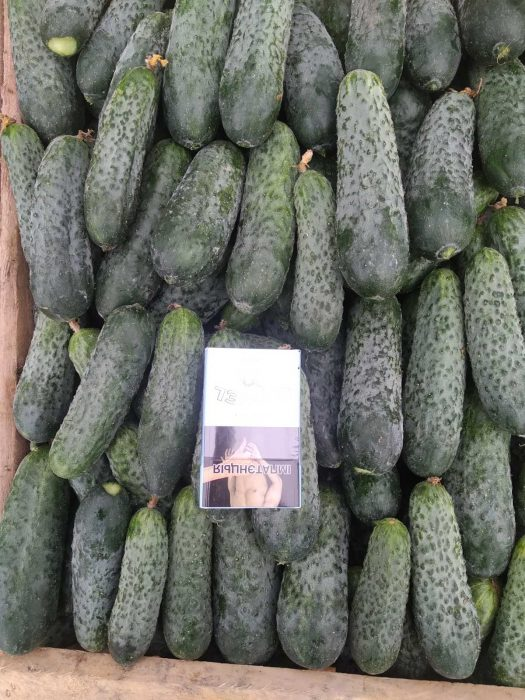 image VEGETABLES - FIELD CUCUMBER  LESZEK-PRZYGODZKI-FIRMA-HANDLOWA-EXPORT-IMPORT VEGETABLES - FIELD CUCUMBER